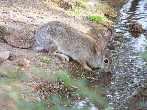 Rabbit Drinking